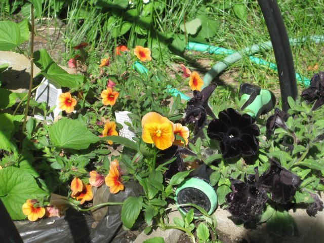 Calibrachoa, Pansy and Petunia edging the squash bed.