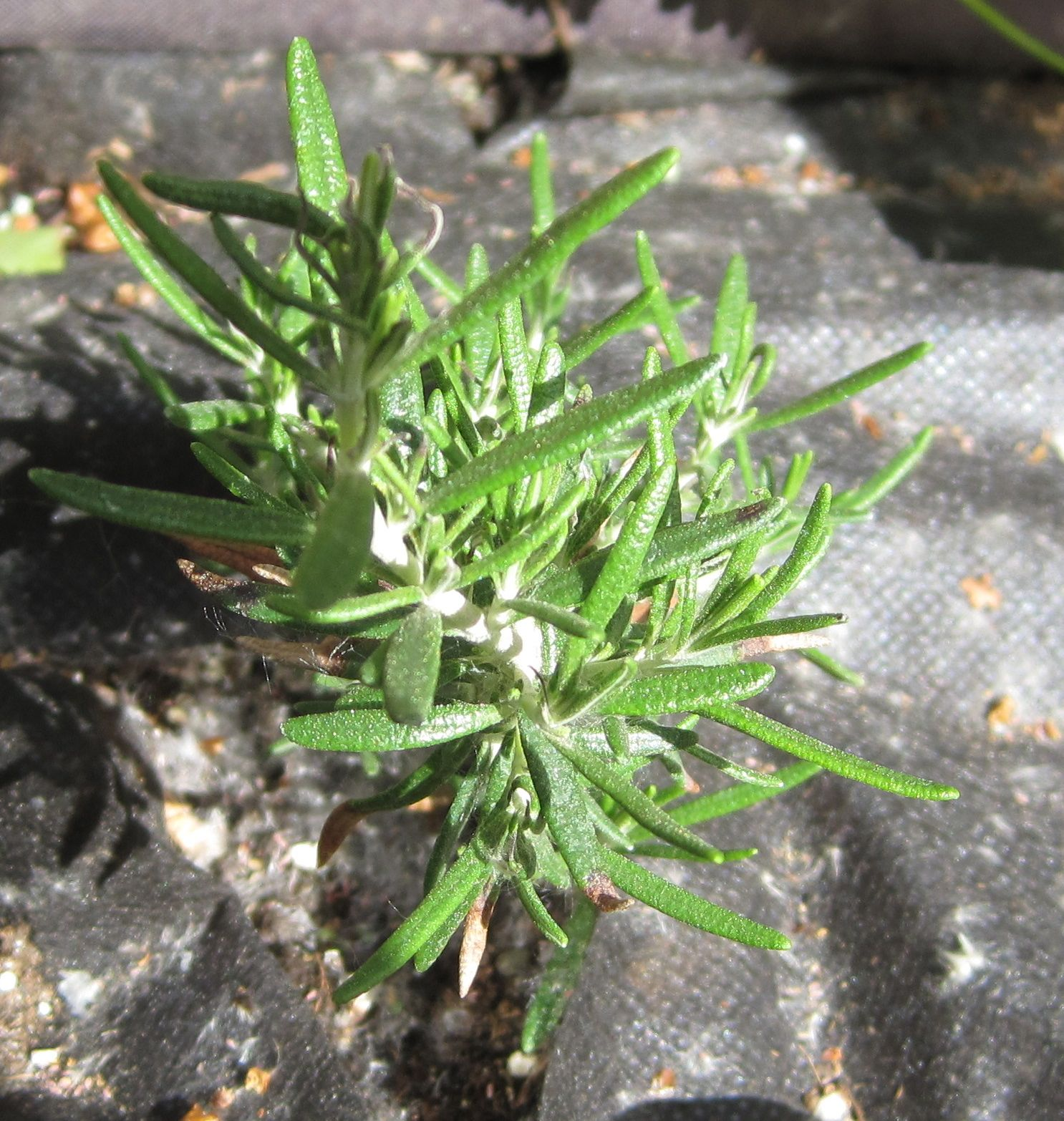 Rosemary Huntington Carpet Herb Plant - Carpet Vidalondon