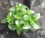 Spicy Globe Basil. This was the only bush basil I could find this year, though I prefer Minette. These little bush basils work best for me as suppliers of fresh basil.