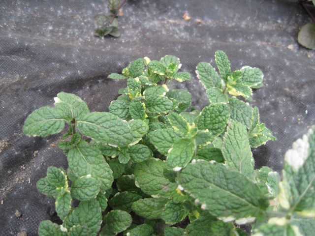 Variegated Pineapple Mint, Mentha suaveolens. It really does have a pineapple scent.