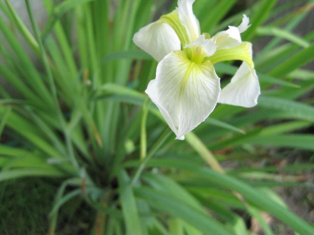 White iris 6:10:14
