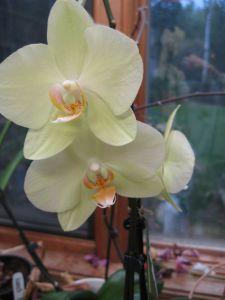 Lemon Phaleonopsis