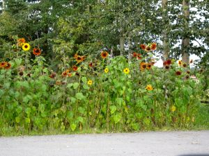 Jut to prove sunflowers can be grown in Alaska